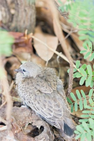 Spotted Necked Dove, baby bird sitting under the t...