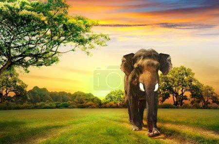 Photo pour Éléphant au coucher du soleil - image libre de droit