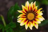 Žlutá gazánie květina makro fotografie