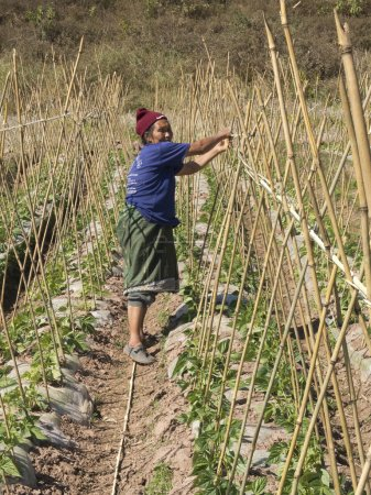 Old woman ties bamboo