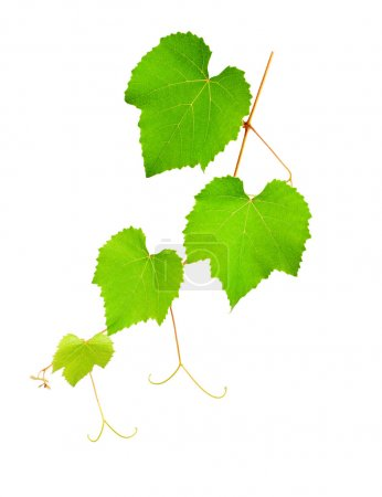 Photo pour Branche de vigne isolée sur fond blanc - image libre de droit
