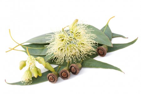 Photo pour Branche d'eucalyptus isolée sur blanc - image libre de droit