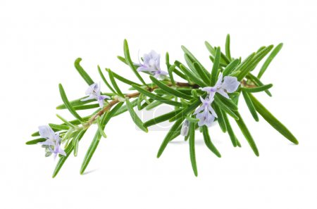 Photo for Rosemary with flowers isolated on white - Royalty Free Image