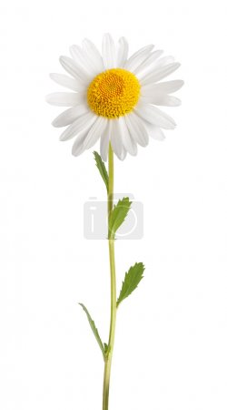 Photo for White daisy with stem isolated on white background - Royalty Free Image