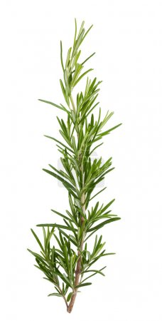 Photo for Fresh rosemary sprig isolated on white background - Royalty Free Image
