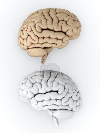 Photo pour Illustration 3D du cerveau humain blanc et brun sur fond blanc - image libre de droit
