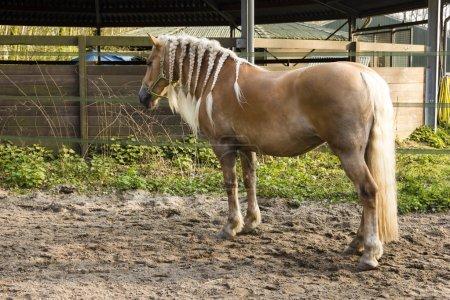 Braided horse mane - Blond mane horse with braids