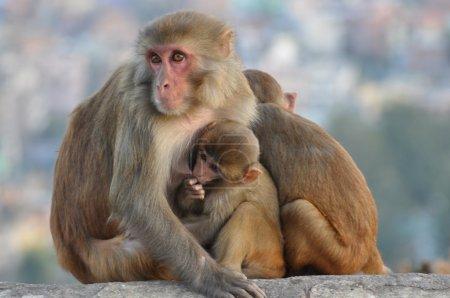 singe à Katmandou