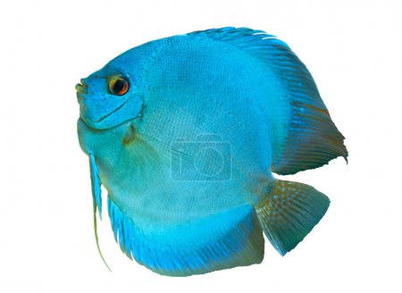 Blue Discus in isolated on white