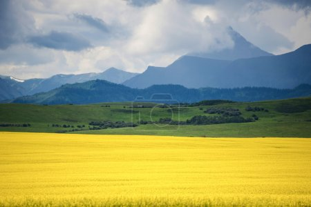 Field of yellow canola