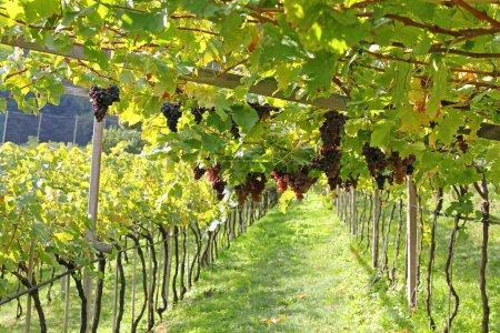 Ripe red wine Grapes in Trentino-Alto Adige, Italy