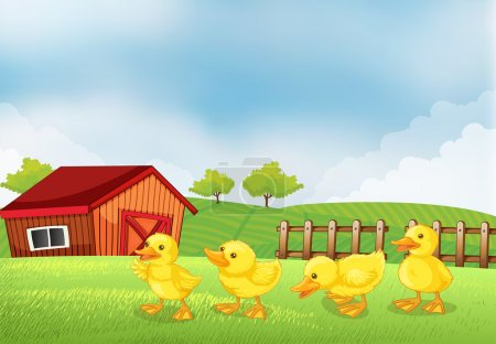 Four chicks in the farm with a barn and a wooden fence