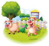Two playful pigs near the wooden fence