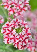 Geranium květiny
