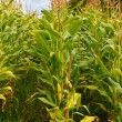 Field of maize or corn a popular animal feed now o...