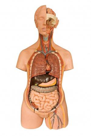 Photo pour Modèle anatomique humain isolé sur fond blanc un outil souvent utilisé pour les étudiants en médecine lors de l'apprentissage de l'anatomie en classe de biologie - image libre de droit
