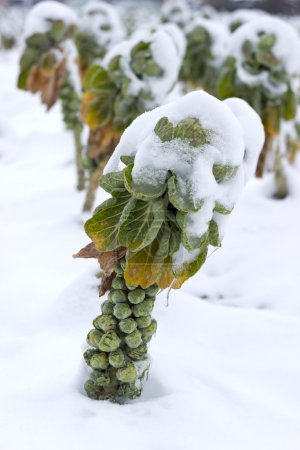 Photo for Fields with sprouts covered in snow - Royalty Free Image