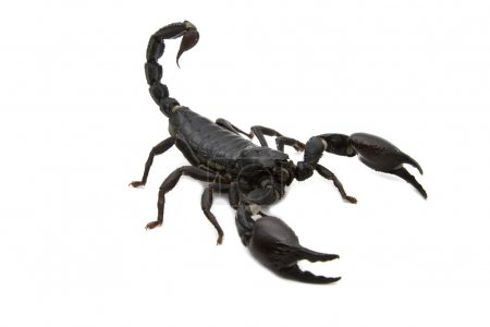 Black Scorpion in combat position