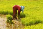 Thajské farmář příprava rýže sazenice pro výsadbu