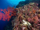 Turtle on a coral reef at Bunaken