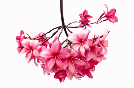 Photo pour Frangipani fleur isolée sur fond blanc (Plumeria ) - image libre de droit
