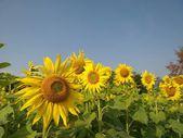 Slunečnice v létě
