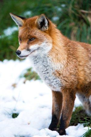 Photo pour Profil latéral d'un renard sur fond de neige - image libre de droit
