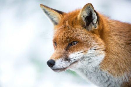 Photo pour Gros plan du renard tête et des épaules de profil sur un fond de neige - image libre de droit