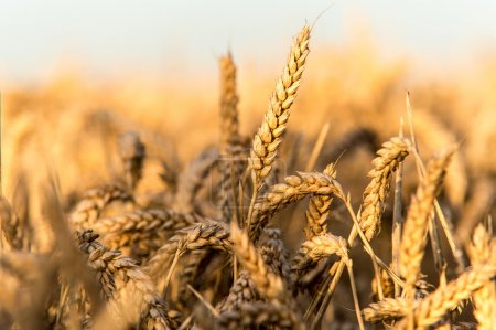 Photo for Golden field of wheat against a blue sky - Royalty Free Image