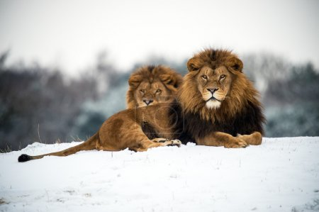 Male lions against a background of snow