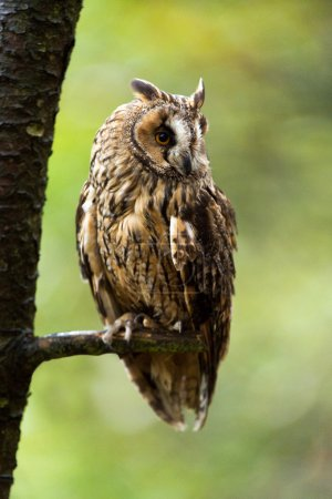 Long Eared Owl perched on the branch of a tree