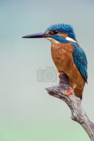 Kingfisher Perched on Branch (alcedo atthis)