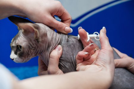 Little purebred sphynx cat at the veterinary checkup