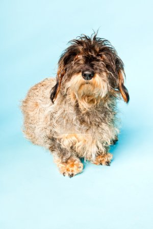 Cute rough haired dachshund isolated on light blue background. Studio shot.