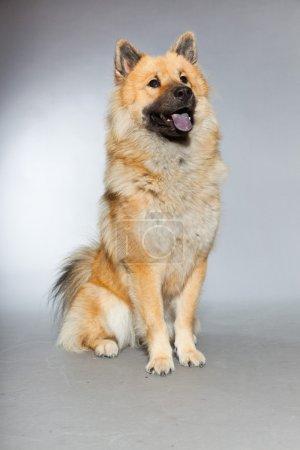 Young Eurasier dog.