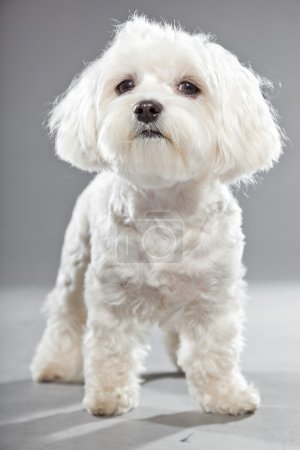 Cute white young maltese dog. Studio shot.