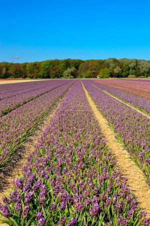 Field of purple hyacinths with blue sky...