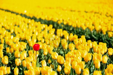 Photo for Yellow tulips and one red standing out of the crowd. - Royalty Free Image