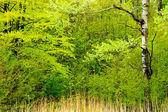 Forest landscape in spring after rain.