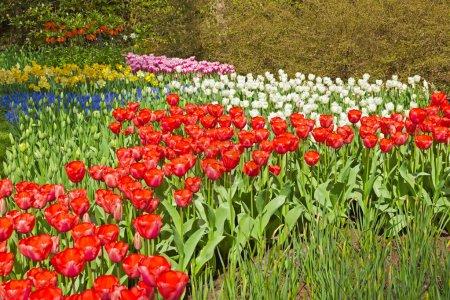 Photo pour Jardin fleuri au printemps. Keukenhof. Lisse. Pays-Bas . - image libre de droit