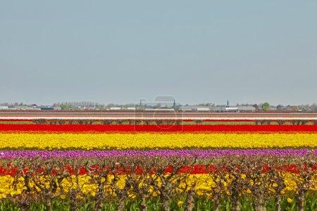 Photo pour Champ de fleurs de tulipes colorées. Lisse. Pays-Bas . - image libre de droit