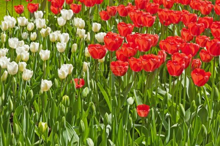 Red and white tulips together in a field. Spring.