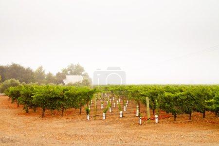 Vineyard culture landscape in the mist. Napa Valley. California.