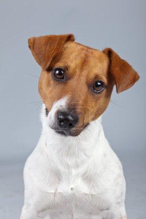 Photo pour Jack russell terrier chien blanc avec des taches brunes isolées sur fond gris. Portrait studio . - image libre de droit
