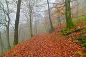 Autumn forest in the mist with autumn leafs on the ground. Belgi