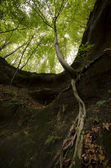 Tree with roots hanging on a cliff