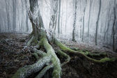 Tree with moss covered roots in a frozen forest with frost and fog in winter