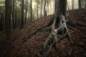 Roots of big tree in a forest with fog after rain