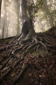 Tree with big twisted roots in a dark enchanted forest with fog