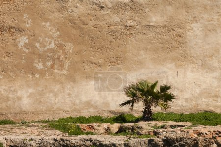 Small palm tree on an old wall